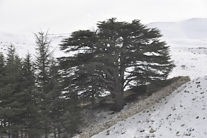 A cedar in the Qadisha valley
