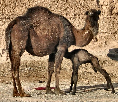 A dromedary and its child, two hours old.