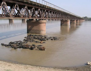 Buffaloes in the Chenab