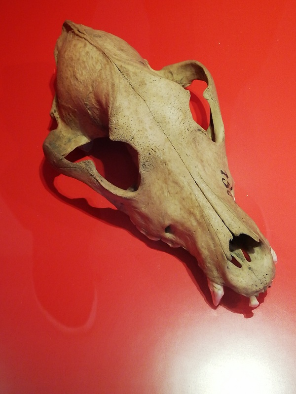 Ezinge, Skull of a dog
